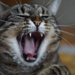 Yawning cat, Ruthy Doolittle