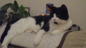 Tuxedo Cat, animal communication session