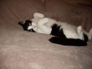 Bobbie, tuxedo tripod animal communication