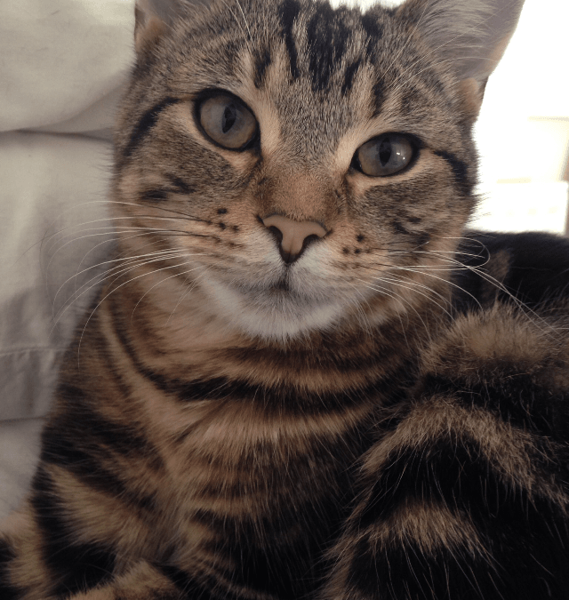 Cat chat with stripey tabby, Animal Communication Ruthy Doolittle