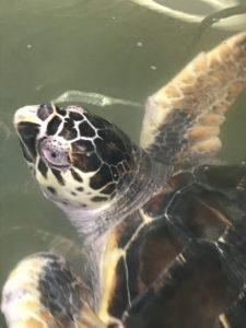 Hawksbill Turtles in Sri Lanka