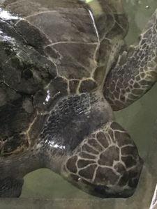 Injured turtle, in Sri Lanka