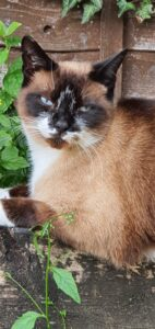 Very handsome rescue Snowshoe Cat Blue, sat in the garden. Ruthy Doolittle