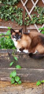 Anxious rescue cat Blue, the snowshoe sat outside happy with his bach flower remedy. Ruthy Doolittle